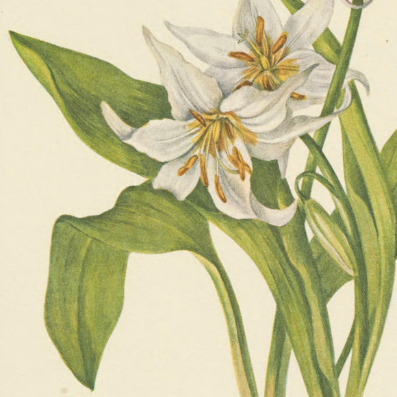 the_fawn_lily